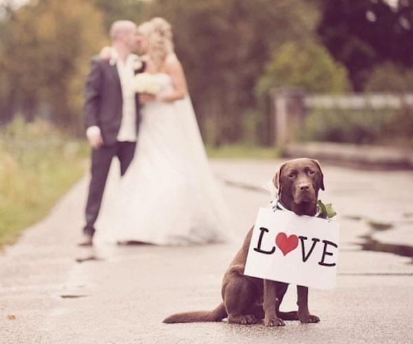 labrador sesja ślub wesele